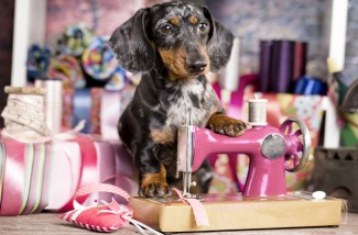 Dachshund dog in a tie and sewing machine, tailor for dogsFashi
